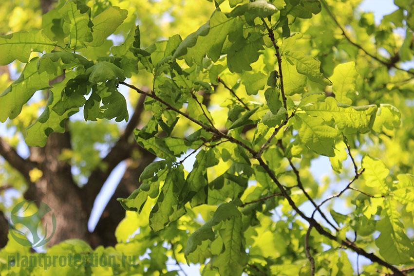 Болезни дуба - листовертка