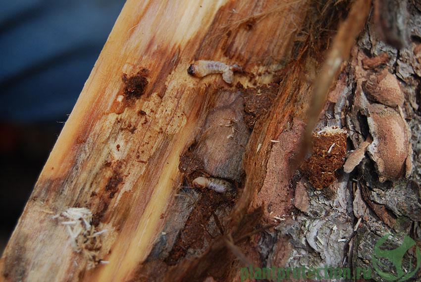 Личинка усача под корой ели