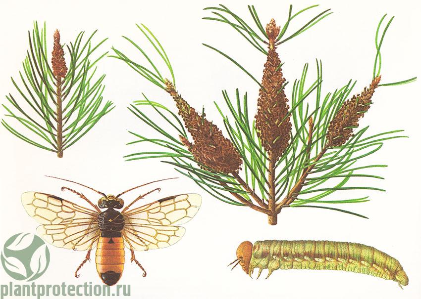 Одиночный пилильщик-ткач: гусеница, гнездо, перепончатокрылое насекомое.