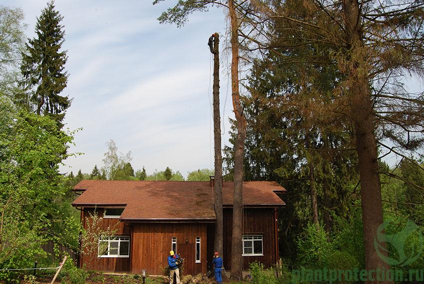 Спил дерева, поврежденного стволовыми вредителями.