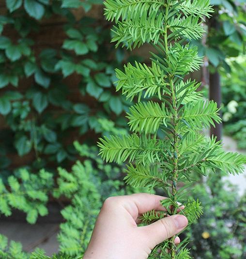 Услуги по защите растений - щитовка на тисе