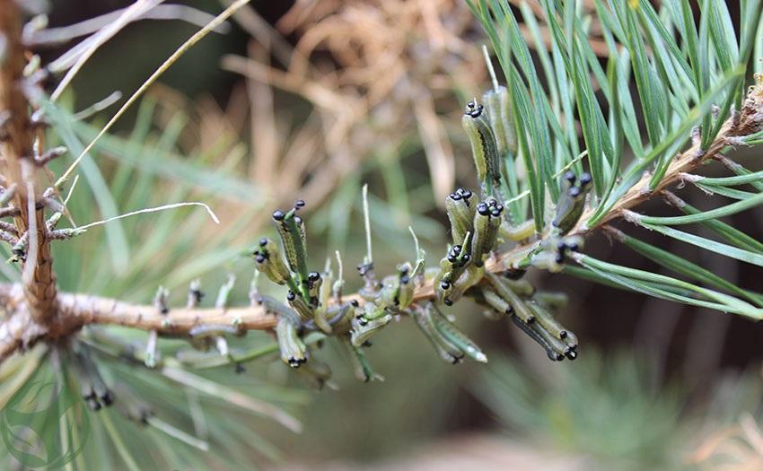 защита лесных деревьев от гусениц