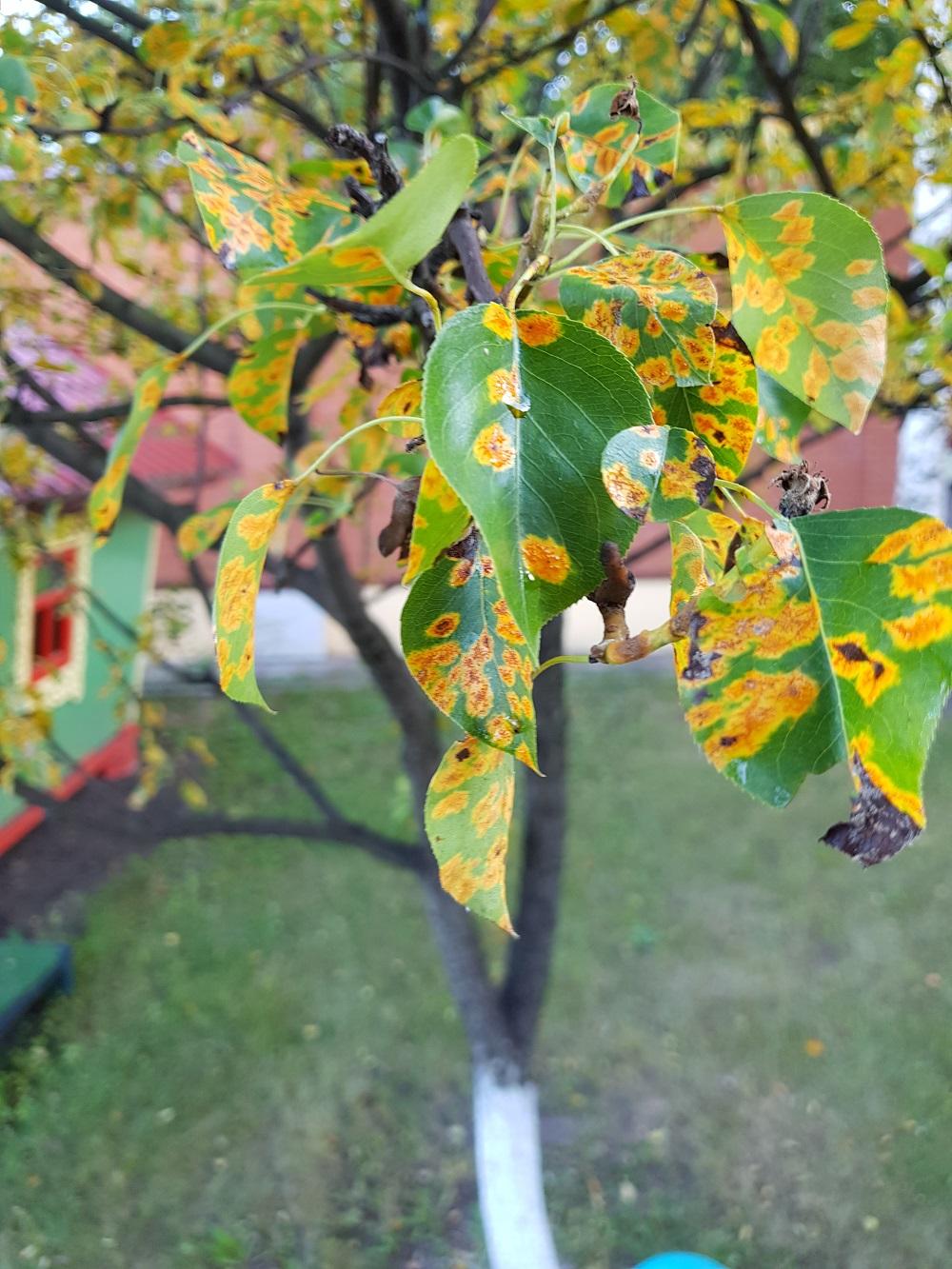 Ржавчина можжевельника на листьях груши