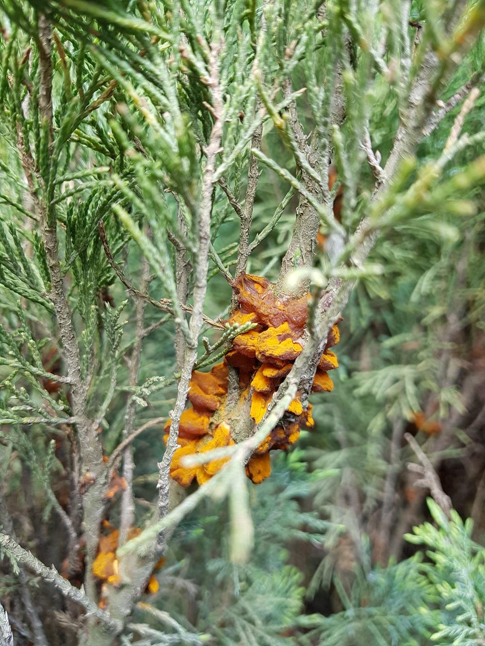 Ржавчина можжевельника. На ветвях оранжевые папулы.